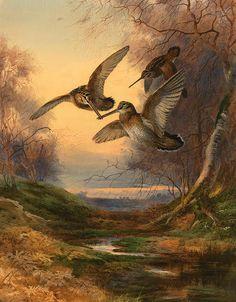 Eurasian woodcocks (Scolopax rusticola) by Archibald Thorburn (1860 – 1935)