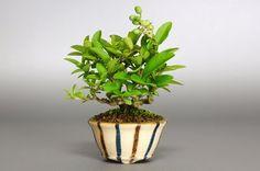 e-盆栽のミニ盆栽ブログ|國井宏: ボタノキX(いぼたのき・水蝋の木)実もの盆栽の販売と育て方・作り方・bonsai