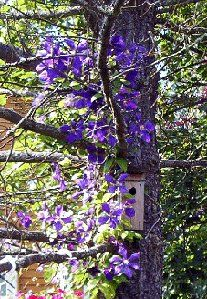 Clematis and pine tree