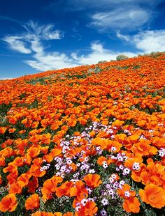 California Poppies    Photography Instructor:  © Doug Steakley