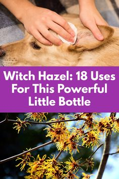 Natural Health Remedies, Herbal Remedies, Home Remedies, Natural Medicine, Herbal Medicine, Holistic Medicine, Witch Hazel Uses, Healing Herbs, Health And Beauty Tips