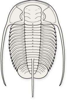PTYCHOPARIIDA-Balnibarbi https://www.pinterest.com/pdilegami/trilobites/