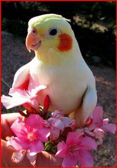 BEAUTIFUL Cockatiel
