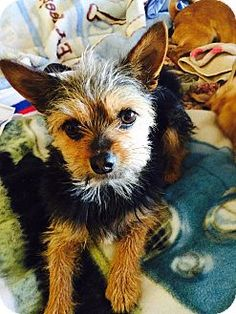 Corona, CA - Yorkie, Yorkshire Terrier/Australian Terrier Mix. Meet A Beautiful Yorkie Terrier, a dog for adoption. http://www.adoptapet.com/pet/12576299-corona-california-yorkie-yorkshire-terrier-mix