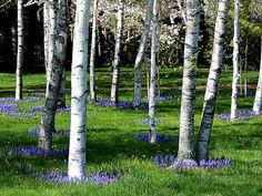 White Birch Tree | Amidst the White Birch Trees | Flickr - Photo Sharing!
