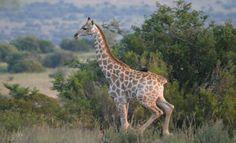 Running Giraffe Shelanti, Limpopo, South Africa