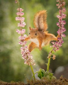 Yellow Red Squirrel Standing Between 2 Lupine Flowers With Spread Legs Branch Wall Art Hanging Tapestry inch Nature Animals, Animals And Pets, Funny Animals, Cute Animals, Wild Animals, Wild Creatures, All Gods Creatures, Lupine Flowers, Red Squirrel