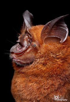 Bornean Horseshoe Bat