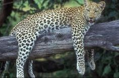 The Lazy Leopard