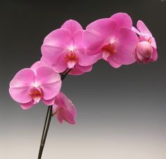 Pink orchid flowers #orchidflowers