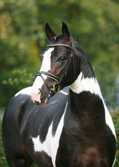 chase-me-charlie:  Samaii - 2004 Oldenburg Stallion [x]