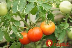 Within two months of plunking tomato seedlings in the ground, the fruit should be filling out and starting to turn color. Tomato Pruning, Tomato Seedlings, Tomato Plants, Container Vegetables, Container Gardening, Compost, Growing Tomatoes In Containers, Grow Tomatoes, Baby Tomatoes