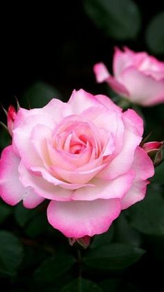 carleen rose beautiful flowers pinterest rose. Black Bedroom Furniture Sets. Home Design Ideas