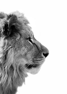 Lion From Side Poster in der Gruppe Poster / Größen und Formate / bei . Lion From Side Poster in Group Poster / Sizes and Formats / at Desenio AB Lion Poster, Print Poster, Elephant Poster, Photo Pop Art, Lion Profile, Poster 40x50, Poster Photo, Mode Poster, Groups Poster