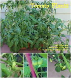 How Does Your Garden Grow? Late June, 2014; Gardening in US Hardiness zone 6, New York State, late June, 2014. (My garden update!)  http://www.annsentitledlife.com/produce/how-does-your-garden-grow-late-june-2014/