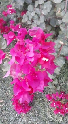 Bougainvillea, Plants, Jewelry, Jewlery, Jewerly, Schmuck, Jewels, Plant, Jewelery
