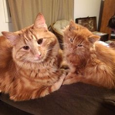 """Evin and Minnie have been inseparable since the day they met.   """"My boyfriend (Jesse) is a dairy farmer. Evin was the sweetest barn cat and Jesse fell in love with him. He brought him home for me for Christmas '14. """" Jessica Ryan told Love Meow.   """"And then we found Minnie's litter and couldn't..."""