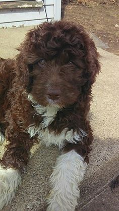 Lucy at 10 weeks :) she will be around 60,70 lbs full size. She's a Newfypoo, standard poodle and Newfound mix