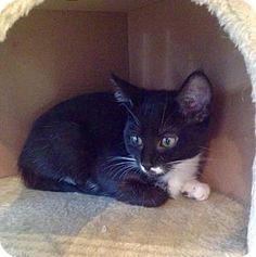 Philadelphia, PA - Domestic Shorthair. Meet Gene, a kitten for adoption. http://www.adoptapet.com/pet/15631289-philadelphia-pennsylvania-kitten