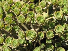 "Scilly Succulents These plants are found all around the Isles of Scilly. David Lally thinks that these are one of the ""many species of Aeonium found on scilly. They are all native to the Canary Islands."" Thanks for the information David."
