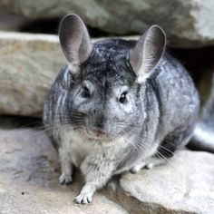 Chinchilla dust bath can make your Chinchilla clean and happy. Find how to give your lovely Chinchilla dust bath and the benefits by reading our article. Chinchilla Facts, Chinchilla Food, 10 Interesting Facts, Animal Facts, Fauna, Rodents, Guinea Pigs, Animal Kingdom, Mammals