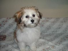 I love my Yorkie Maltese mix puppy! Misty's Mommy was Yorkie 5 1/2 lbs and Daddy was Maltese 3lbs. Misty is now 4 1/2 months and weighs 6.7 lbs.   She