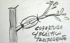 Como fazer mudas – Multiplicação de plantas pelo método da Alporquia. | Como fazer mudas