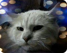 Trevose, PA - Domestic Shorthair. Meet Radio, a cat for adoption. http://www.adoptapet.com/pet/15580162-trevose-pennsylvania-cat