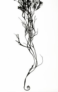 identifying seaweed seaweed drawings and projects. Black Bedroom Furniture Sets. Home Design Ideas
