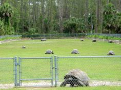 Awesome Aldabra Tortoise pen from a breeder in Florida