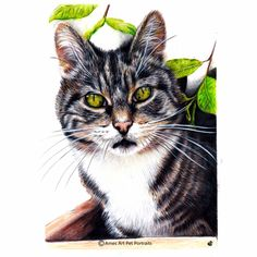 Cat pet portrait of Jess the tabby cat. From Ireland. Faber Castell and Luminance Colour Pencil. Bristol Board extra smooth A4. pencil art, pencil drawings, colour pencil drawings, pencil portraits, art drawings.