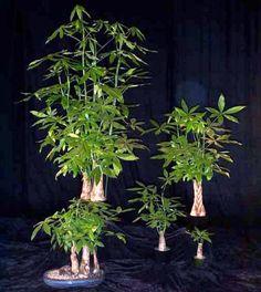 ✿ڿڰۣ(̆̃̃•Aussiegirl Bamboo Bonsai