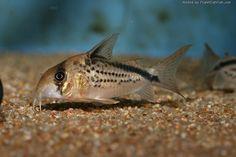 Corydoras loxozonus Home Aquarium, Aquarium Ideas, Cory Catfish, Plecostomus, Fish List, Freshwater Aquarium Fish, Fish Tanks, Planted Aquarium, Tropical Fish