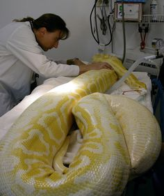 Snake X-Ray Wins Contest ft, Burmese Python accidentally swallows heating blanket) Python Royal, Anaconda, Types Of Snake, Spiders And Snakes, Burmese Python, Giant Snake, Colorful Snakes, Largest Snake, Amor