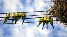 Wild Quaker Parrots of Queens: