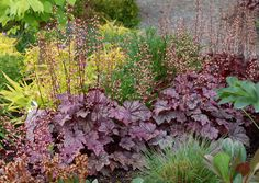 "Introduced in 2009, heuchera 'Plum Royale' is an exciting release from our friends at Terra Nova. It features a small mound of shiny purple leaves. There is a color change but this is the first purple heuchera that looks so colorful all summer long.  Tolerant of heat and humidity. PP#20935.  MATURE HEIGHT: Foliage 8"". In bloom 16"".  MATURE SPREAD: 14"".  HARDINESS ZONES: 4,5,6,7,8,9.  FLOWER: White, all season.  SUN EXPOSURE: Sun to part shade."