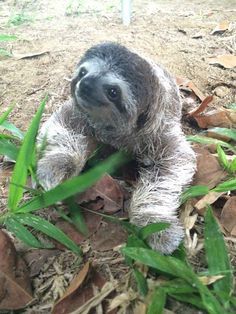 And also meaning that her face always looks like it has a sweet little smile on it. | Meet Lunita, The Cutest Baby Sloth On Planet Earth