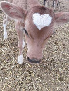Cute Baby Cow, Baby Animals Super Cute, Baby Cows, Cute Cows, Cute Little Animals, Cute Funny Animals, Baby Farm Animals, Baby Elephants, Fluffy Cows
