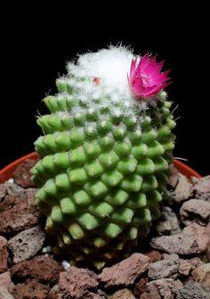 image Mammillaria polythele var. nudum