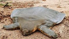 Cantor's giant softshell turtle