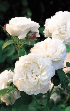 GORGEOUS; includes fragrance info!!  Sarah Raven shares her pick of roses for cutting, from the best of the pinks   to the perfect purples.