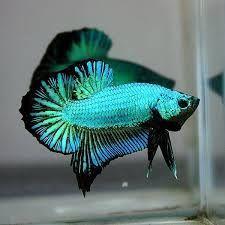 green betta fish - Google Search