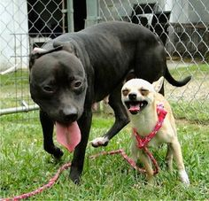 """Please network for this bonded pair in Christiansburg, VA at the Montgomery Co Animal Control. The odd couples' names are Kip (chihuahua) & Fawn (Pit Bull mix) & they are """"best friends."""" Shy & unsure of themselves when not together, they are friendly & playful when together. The facility would love to keep them together. Inquires can be emailed to bigpaws4us@gmail.com  Click for more information and please do everything you can to help these two find their loving, forever home together!"""