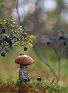 Edible Mushrooms, Wild Mushrooms, Stuffed Mushrooms, Mushroom Identification, Blueberry Farm, Fairy Pictures, Mushroom Fungi, Magical Forest, Fun Hobbies