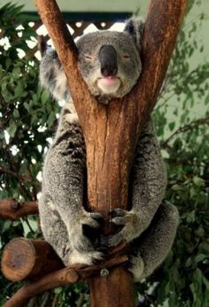 Amazing wildlife - Koala photo featherdale wildlife park is one of australia s pride of wildlife park Nature Animals, Animals And Pets, Cute Baby Animals, Funny Animals, Funny Koala, Smiling Animals, Sleepy Animals, Funniest Animals, Australian Animals
