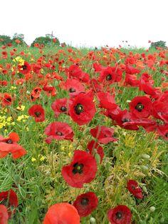 vwcampervan-aldridge:  Bright red poppies grow in a field of Yellow Oilseed, Walmley, Sutton Coldfield, England All Original Photography byhttp://vwcampervan-aldridge.tumblr.com