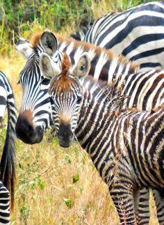 in the #Serengeti baby zebra, #safari #travel