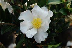 Camellia Setsugekka