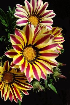Gazania Rigens, 'Big Kiss White Flame'