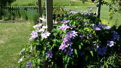 Strutting her beauty - sweet, lovely Clematis..
